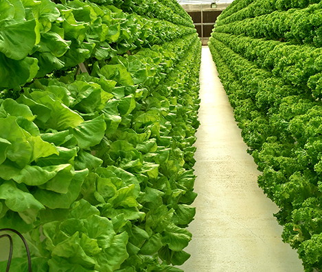 Desert Energy Organic Fertilizers for Lettuce